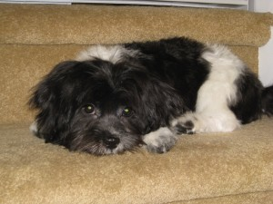 Havanese puppy laying on stairs