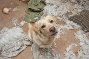 Dog shredded pillow, down feathers are everywhere.