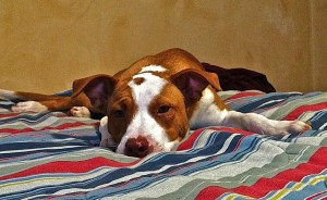 Pitbull dog laying on bed