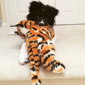 Border Collie with Stuffed Animal
