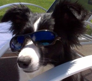 Border Collie Wearing Sunglasses
