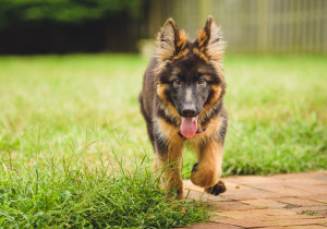 Wookie the German Shepherd Dog